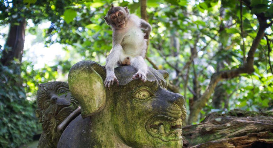Affe in Indonesien
