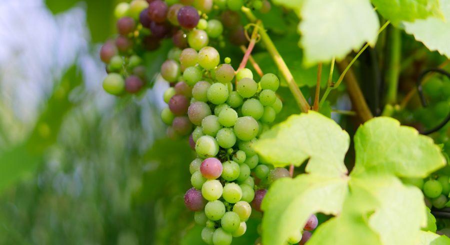 Weingut in Uruguay, Nähe Montevideo