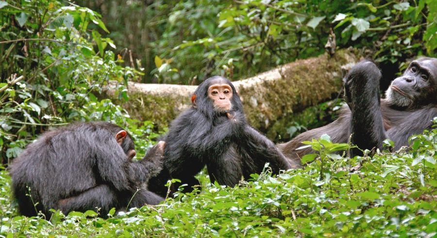 Gruppe von Schimpansen im Wald