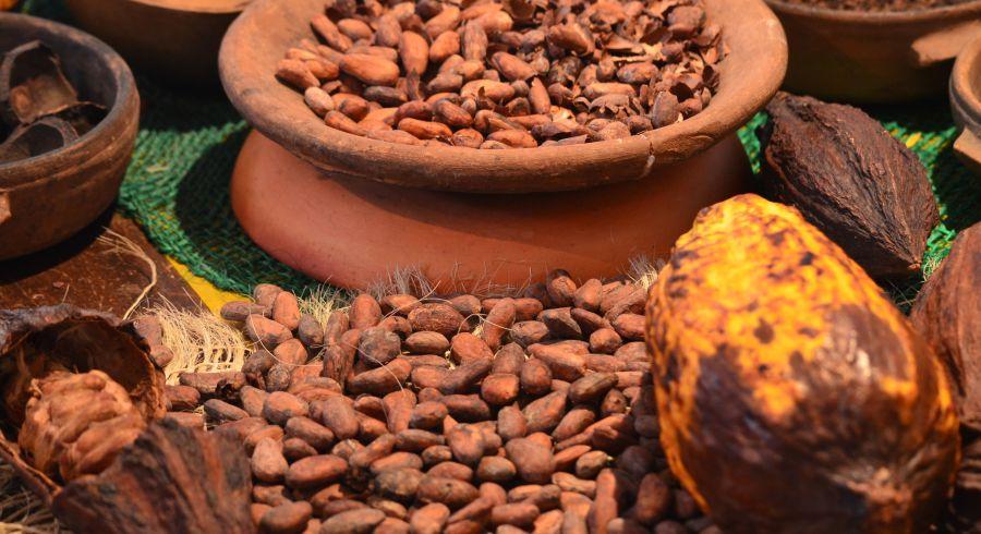 Anbau von Kakaobohnen