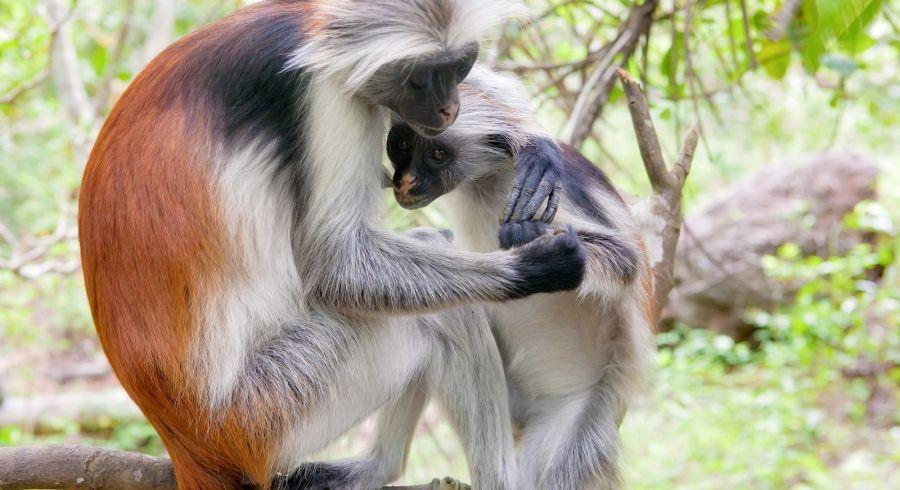 Red Colobus Monkeys in Zanzibar's Jozani Forest