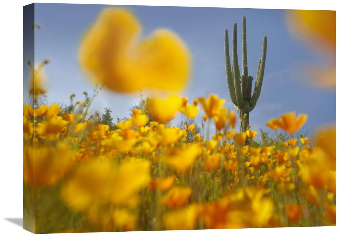 Saguaro Cactus And California Poppy Field At Gonzales Pass, Tonto National Forest, Arizona