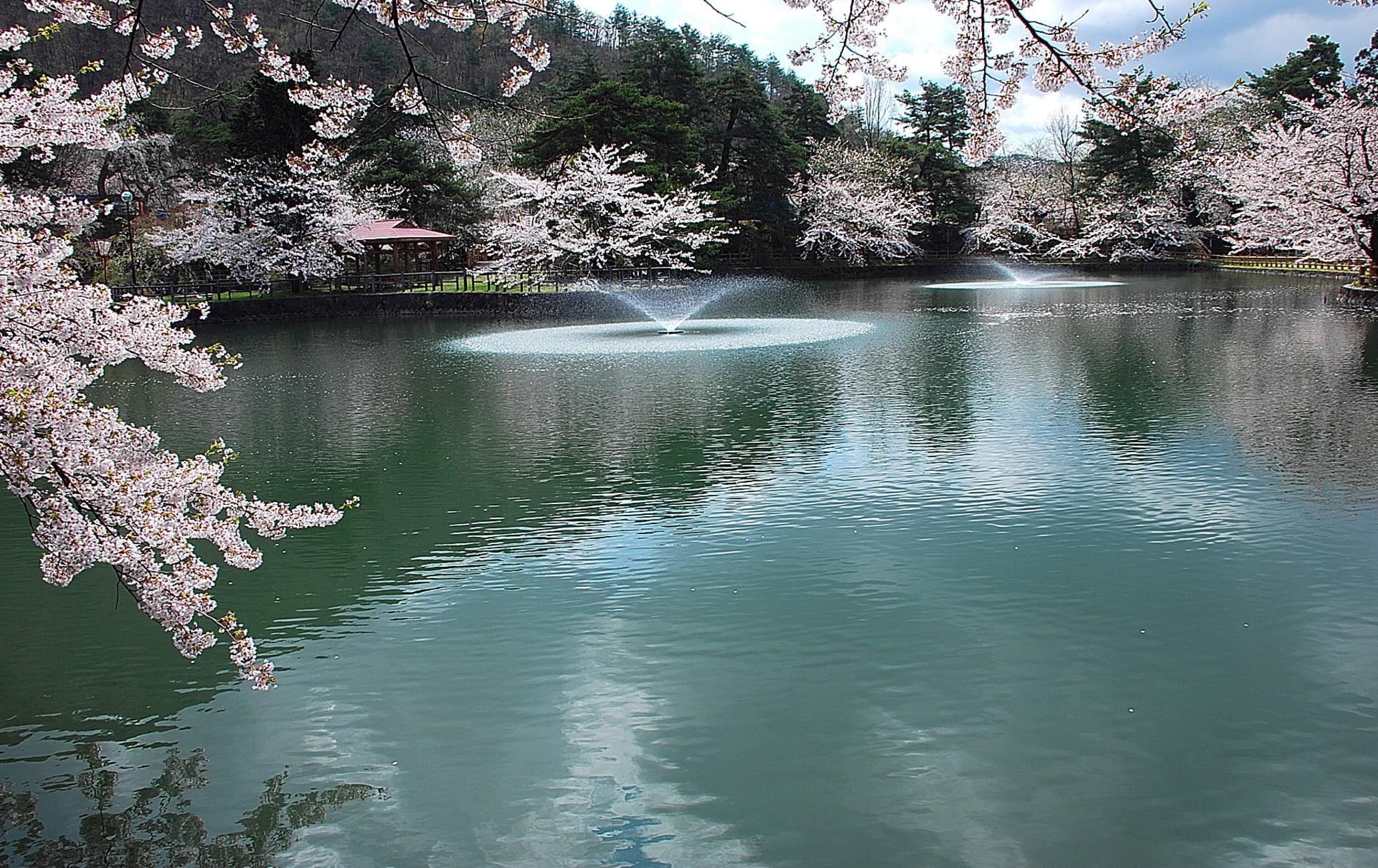 Mato Park-cherry blossom