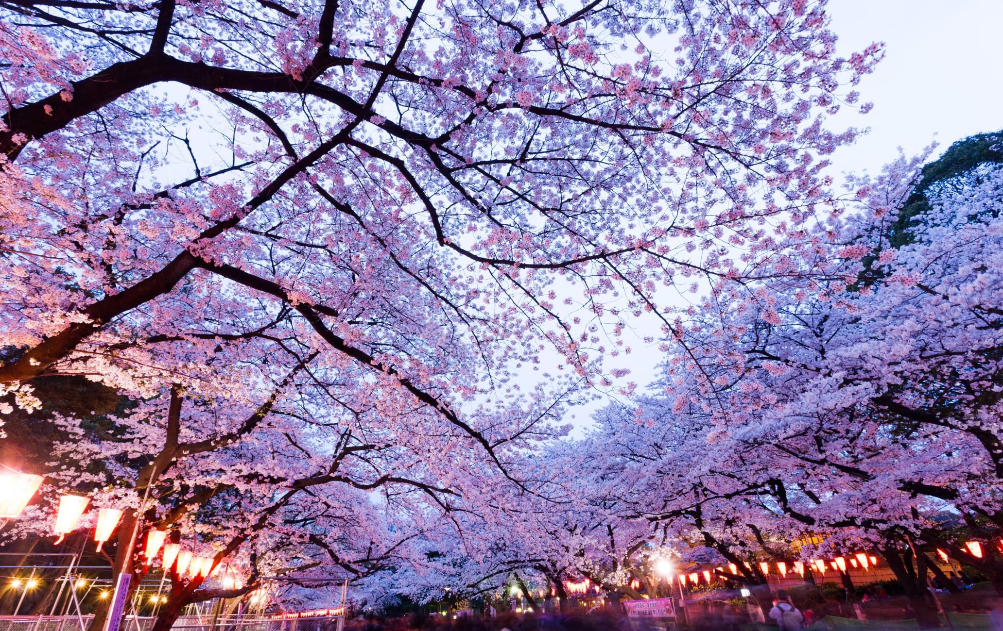 Ueno Park-cherry blossom