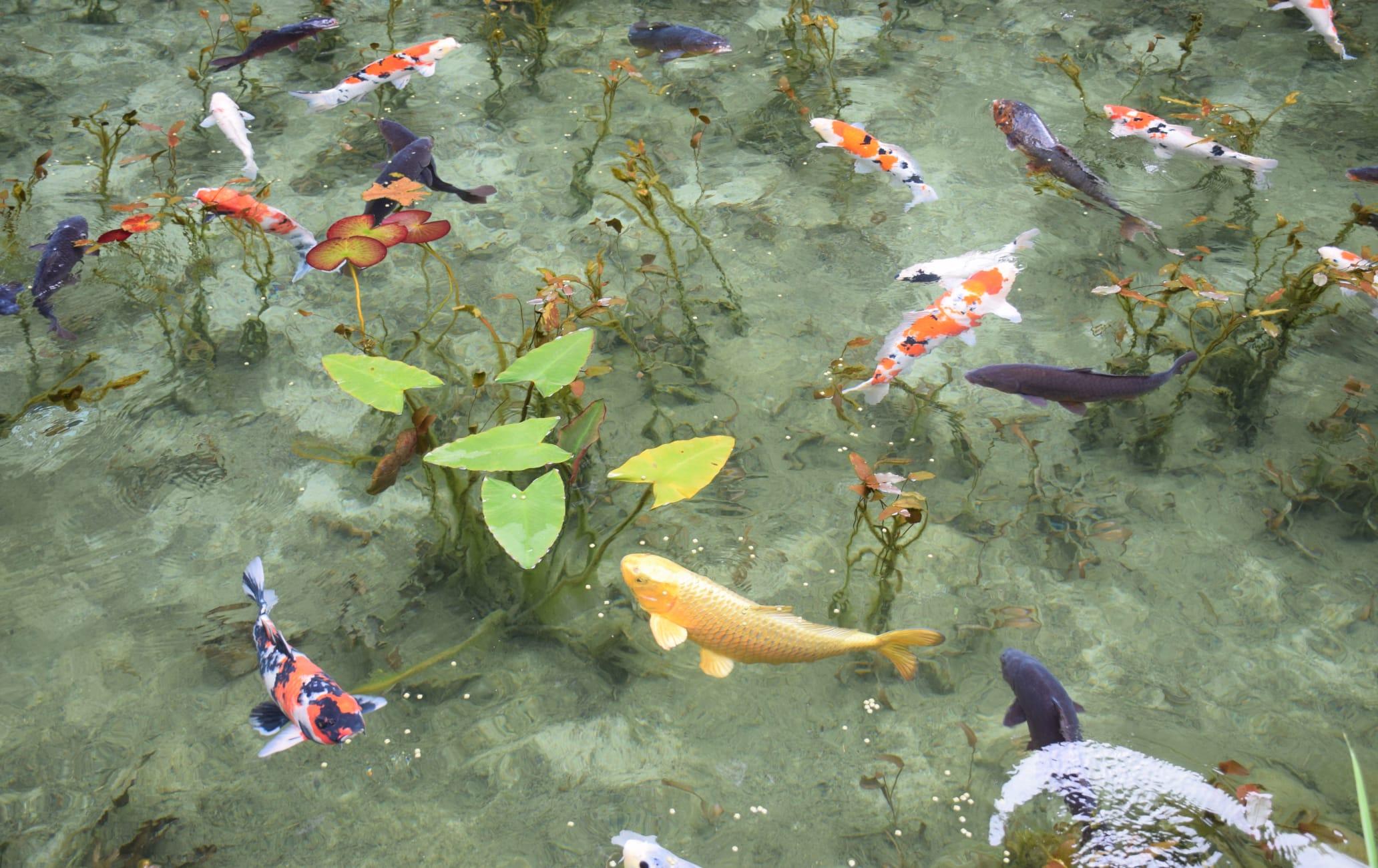 Namonaki Ike aka Monet Pond