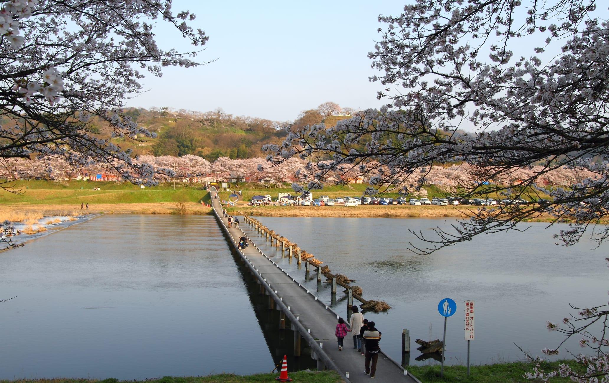 Row Of Cherry Trees On Hiikawa River Bank