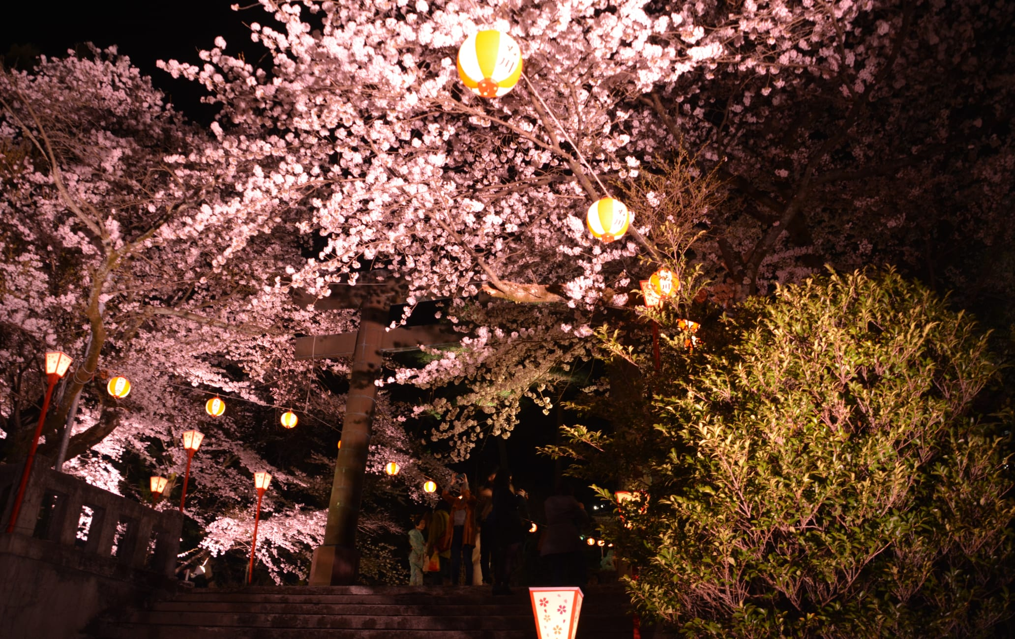 Night Cherry Blossoms Viewing Party