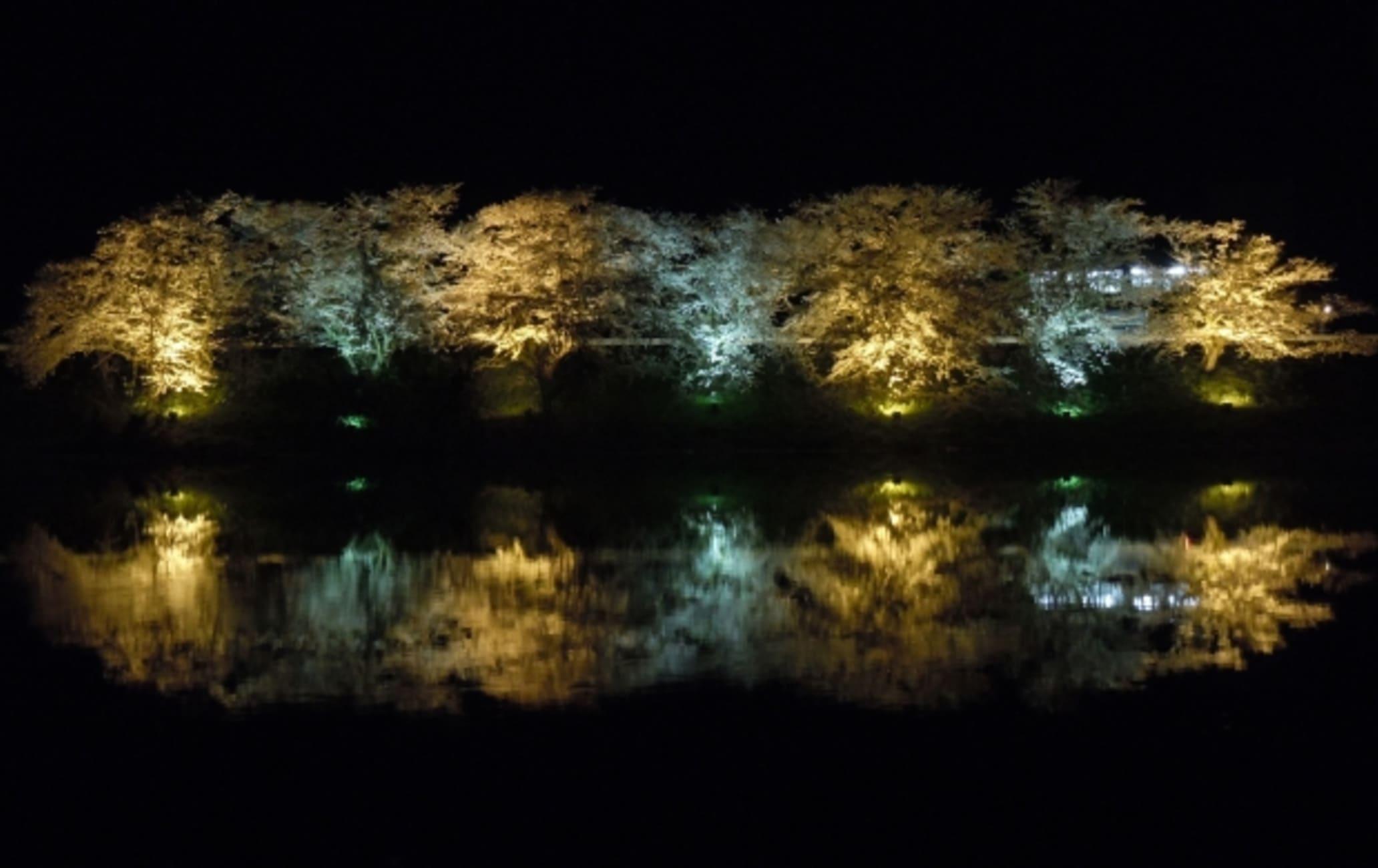 Okozu Bunsui Cherry Blossoms
