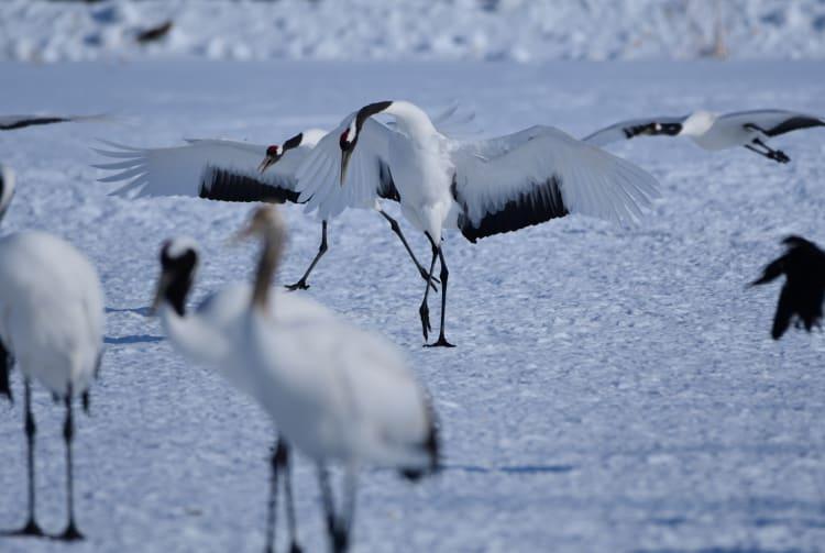 Cranes in the Kushiro Marshlands