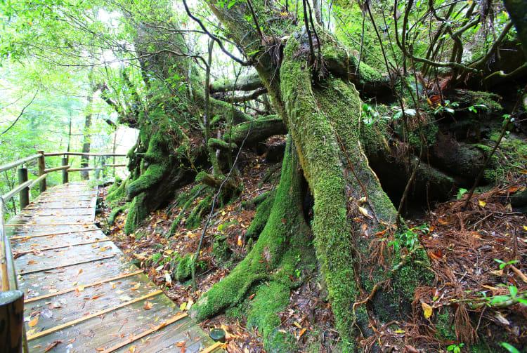 Yakusugi Cedar Land