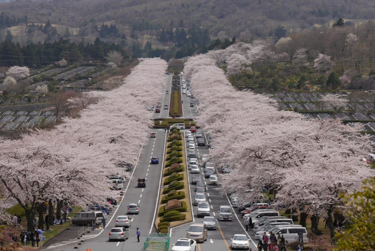 Fuji cemetery park-cherry blossom