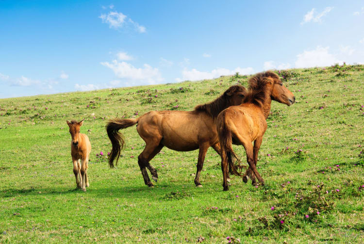 Yonaguni uma Horse Riding