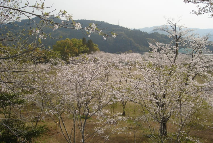 Chikukoen Park-cherry blossom