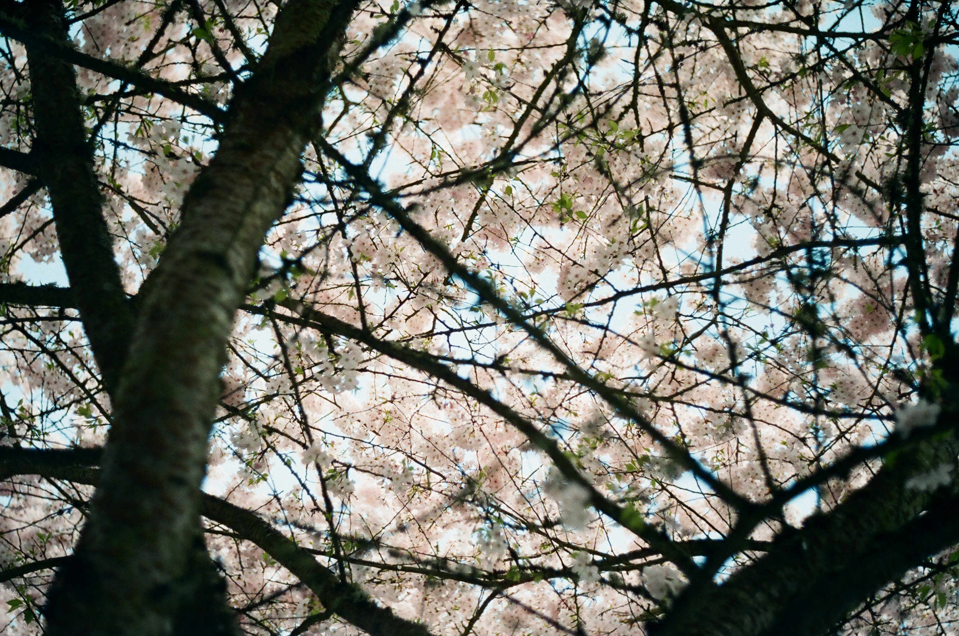 Crisscrossed tree branches reveal cherry blossoms and blue sky.