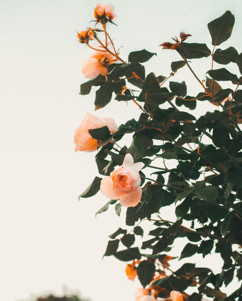 Do Roses Like Eggshells? 3 Myths for Using Eggshells for Roses