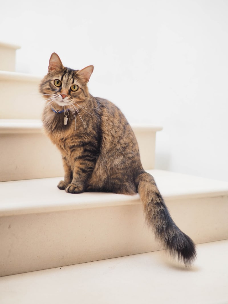 tabby cat on white staircase