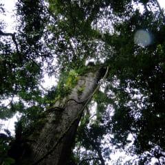 Costa Rica rainforest - ancient trees