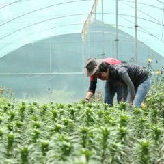 Mexico greenhouse