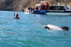 Swim with Hector's Dolphins