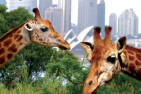 Sydney Harbour Cruise And Entry To Taronga Zoo - Adult