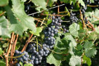 Kumeu Wine and Nature Tour- Full Day