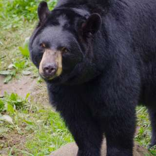 Bear Fest at the WNC Nature Center