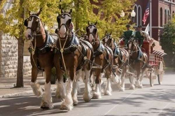 Budweiser Clydesdales Meet-and-Greet