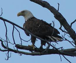 Mason Neck State Park: Eagle
