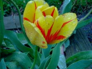 Tulips of many varieties can be seen at Foster Park.