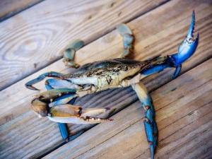 Blue Crabs are abundant in Southwest Louisiana