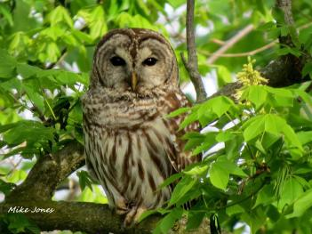 A photo by Mike Jones of a barred owl at Sodalis Nature Park appears in the 2017 Hendricks County Parks & Recreation wall calendar