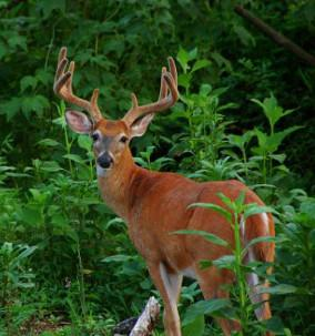 Deer - Wildlife Viewing