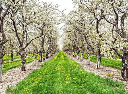 Cherry Blossoms on the Leelanau Peninsula