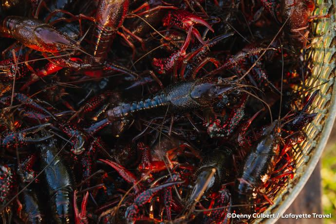 Crawfish - Crawfish Festival