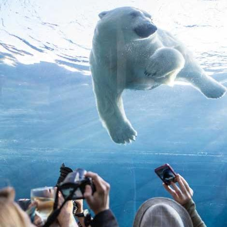 A polar bear swims overhead as onlookers take photos in the underwater tunnel at the Assiniboine Park Zoo