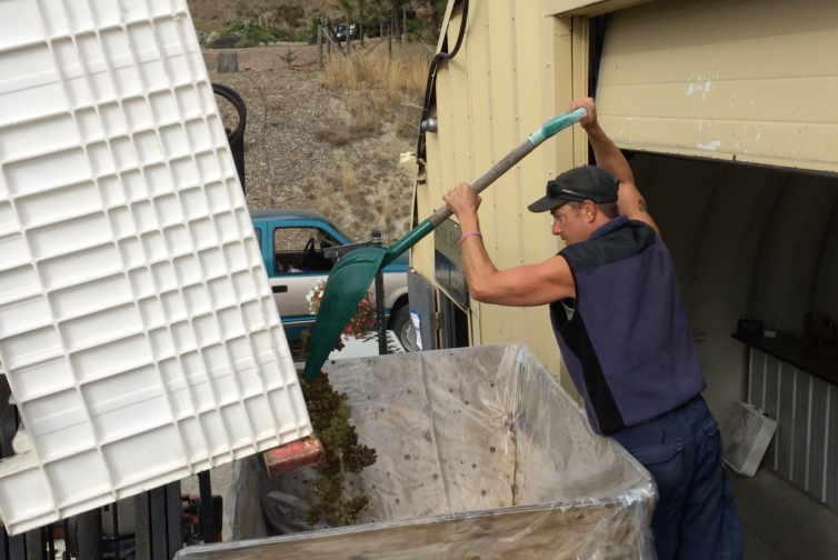 Grapes Being Loaded into the Crusher