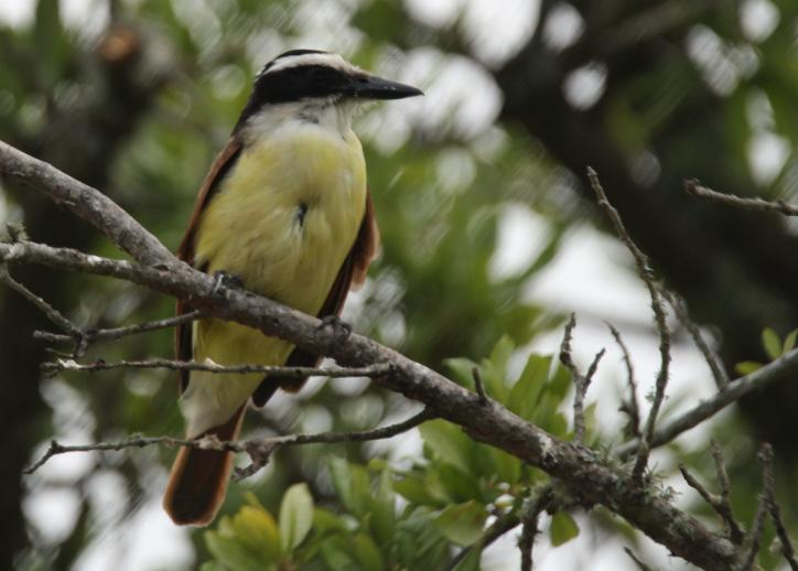 Great Kiskadee   Birding in Lake Charles, LA.