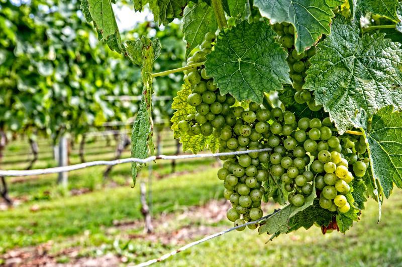 Caroyln's Sakonnet Vineyard