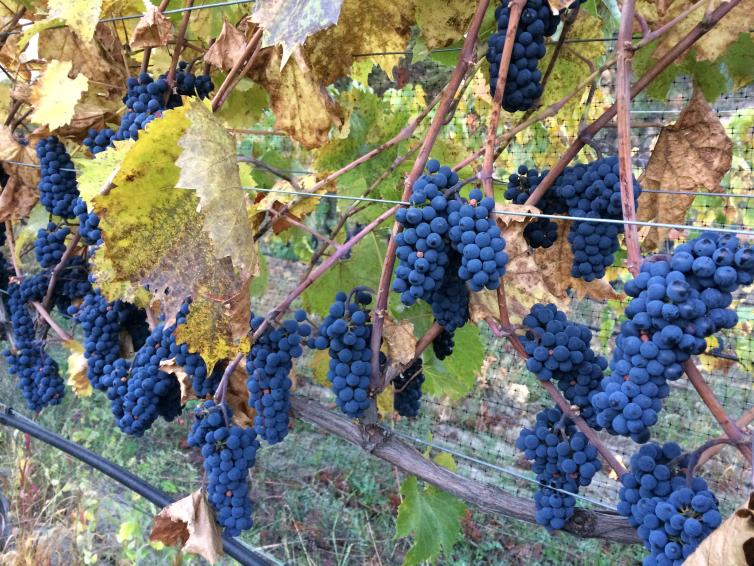 Foch Grapes at Rollingdale