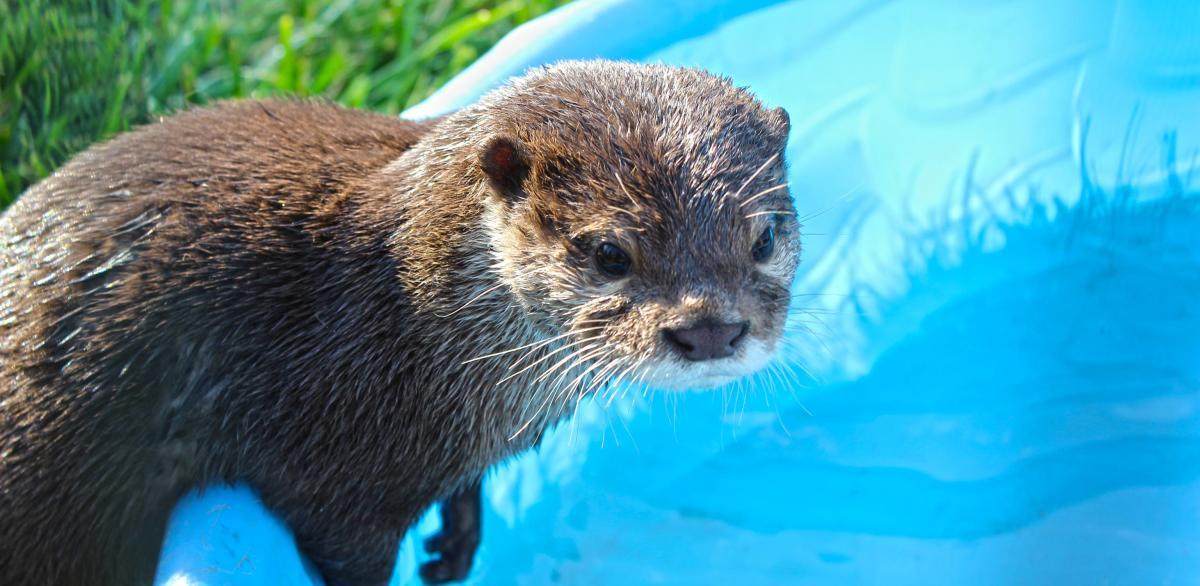 Tanganyika Otters