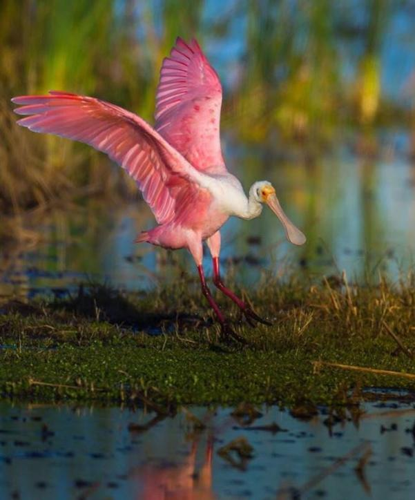 Roseate Spoonbill | Jamie Beauxis Photography