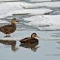 Winter Waterfowl Identification Workshop