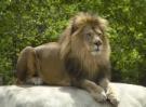 Vilas_zoo_lion