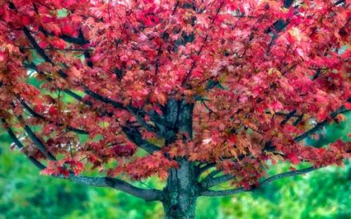 Red Maple Tree Fall 2016