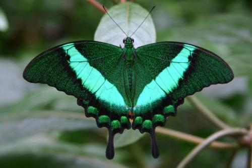 Emerald Swallowtail butterfly at the Butterflies are Blooming exhibit in Grand Rapids