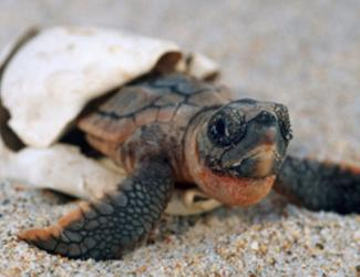 Witness the magic of sea turtles hatching, if you're lucky