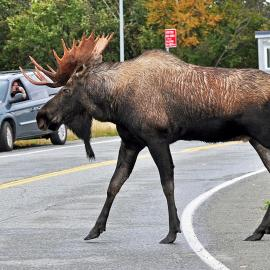 Bull Moose Crossing