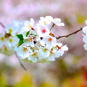 9. Cherry Blossoms