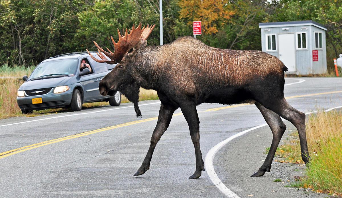 Best Alaska Wildlife Viewing Spots Visit Anchorage
