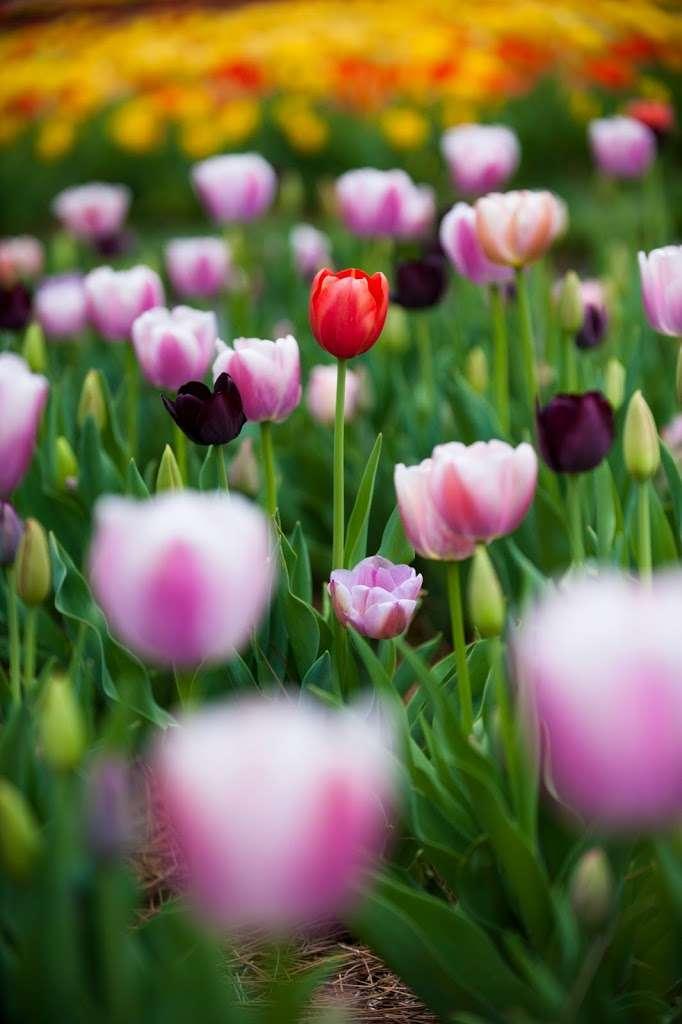 72,000 Tulips